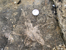 sea star (Asteroidea) fossils